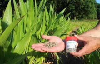 Meer+zetmeel+in+mais+met+groen+fosfaat