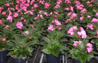Vrijstelling groeiremmer in potplanten