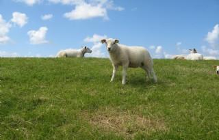 Begrazing+natuurterreinen+door+schapen+in+lage+btw%2Dtarief