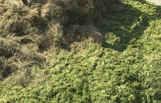 Noodmais geeft oogst vroege start