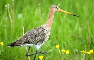 Ook Landschappen NL steunt weidevogelnota