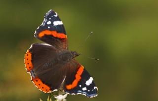 Atalanta+weer+meest+getelde+vlinder