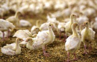 Nu+ook+vogelgriep+bij+kalkoenen+in+Engeland