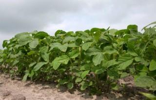 Agrifirm sluit Green Deal Nederlandse soja