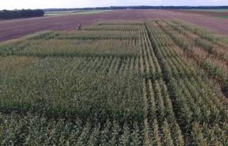 Maisproefveld groen fosfaat gehakseld