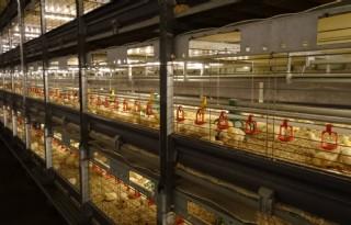 Meer pluimvee- en varkenshouders breiden uit