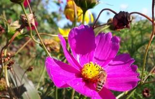 Overijssel gaat bijenpopulatie versterken