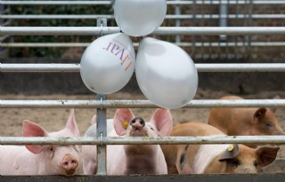 Limburgs Kloostervarken viert driesterren-feestje