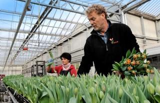 Triflor teelt tulpen wereldwijd