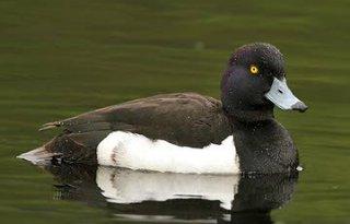 Vogelbescherming+wil+onderzoek+naar+vogelgriep