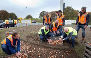 Drenthe+kleurt+rotondes+met+tulpenbollen