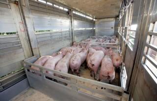 Epidemische diarree op veertig varkensbedrijven