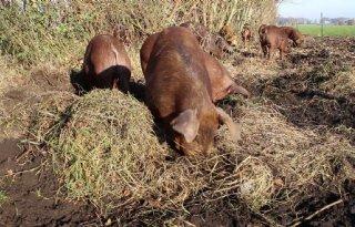 Varkens ten strijde tegen berenklauw