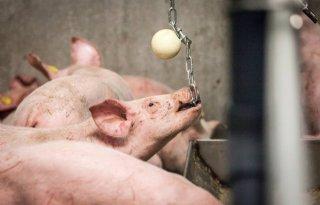 Regeling fosfaatreductie varkens vanaf 29 mei open