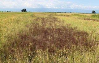 Parasitaire planten bedreigen Afrikaanse rijstoogst