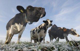 Schouten%3A+fraudezaak+draait+om+5%2E000+koeien