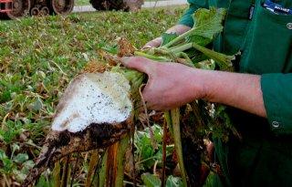 Suiker Unie: 2.150 hectare onder vorstregeling
