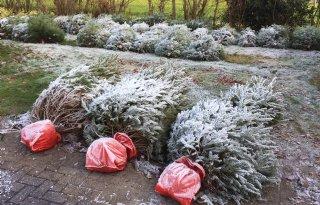 De Nordmann is de populairste kerstboom