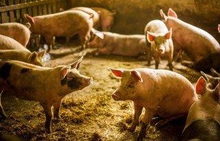 Epidemische+diarree+varkensbedrijven+Brabant+en+Limburg
