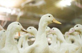 Eenden+dood+na+actie+Vlaamse+dierenactivisten