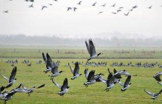 LTO+Noord+Friesland+weerspreekt+conclusie+rapport+ganzenschade