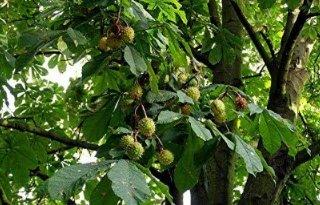 Handel kastanjebomen naar Engeland niet toegestaan