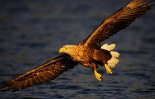 Neergeschoten zeearend had vogelgriep