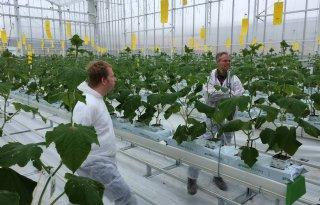 Tweede planting komkommers in Winterlichtkas