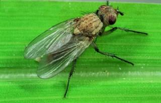 Veldleeuwerik gaat uienvlieg in Noordoosten monitoren
