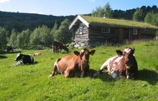 Verplichte+weidegang+Scandinavische+boeren