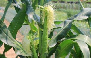 %27Ritnaalden+vraten+maisplanten+rij+voor+rij+weg%27