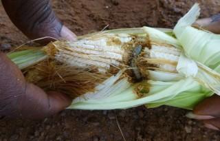 Amerikaanse+rups+teistert+Afrikaanse+mais