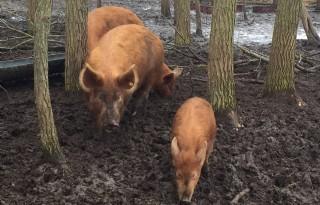 Zeldzaam varkensras weer op de kaart gezet