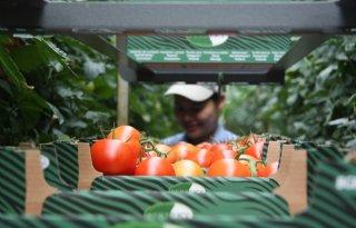 Wilde+tomaat+Galapagoseilanden+resistent+tegen+veel+insecten