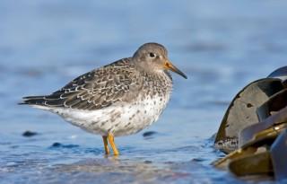 Broedvogels uit toendra komen in Nederland in problemen