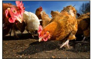 Kippen kunnen weer naar buiten