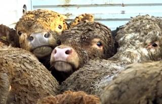 Dierenbeschermers luiden noodklok veetransport