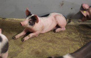 Gezondere+varkens+met+stofverwijderende+nevel