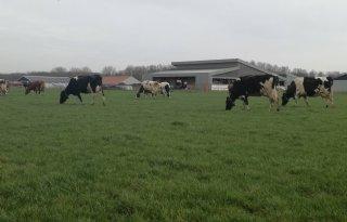 Koeien weidebedrijf Dronten al in de wei