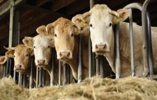 Vleesvee+buiten+fosfaatregeling+is+terechte+keus