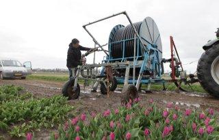 Hevels moeten tulpen goed gietwater bezorgen