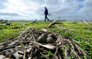 Friese boeren houden vast aan eigen weidevogelplan