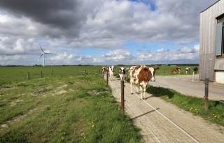 Weinig+Flevolandse+boeren+kiezen+voor+weidegang