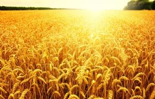 Betere+prijzen+biogranen+in+afzetpool+Agrifirm