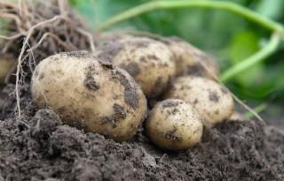 Aviko+meldt+gemiddelde+aardappelopbrengsten