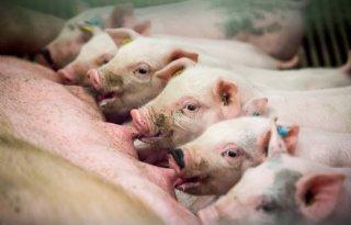 57+varkensbedrijven+melden+zich+voor+omgevingsregeling