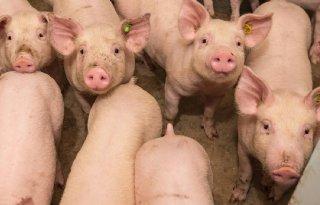 POV+tilt+varkensgezondheid+naar+hoger+plan