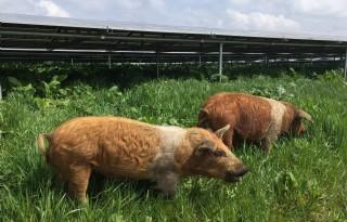 Varkens maaien gras onder zonnepanelen