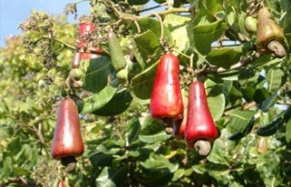 Guinee-Bissau legt cashewverkoop stil