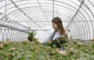 Pioenroos+snelt+omhoog+in+bloemenhi%C3%ABrarchie